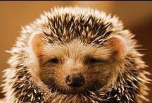 I love hedgehogs ❤