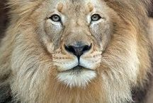 Big Cats / lions, tigers, and other big cats / by Deanna Patterson