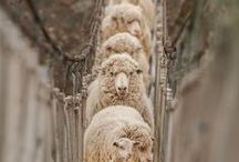 Sheep / Sheep / by Deanna Patterson