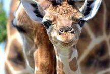 Giraffe / Giraffe / by Deanna Patterson