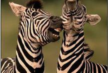 Zebras / Zebras / by Deanna Patterson