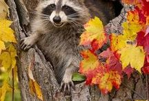 Raccoons / Raccoons  / by Deanna Patterson