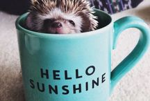 Hedgies / just hedgehogs