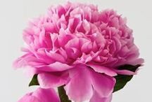 In Honor of the Peony / My favorite flower~ / by Nancy Abb
