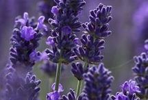 In Love With Lavender / Lavender, also known as Lavandula angustifolia, is one of the most widely used, versatile herbs known today. It is considered a member of the Labiatae family, which also includes mints and the plant originated in England, France, Tasmania, and Yugoslavia. Lavender flowers have long been used to treat digestive problems, insomnia, anxiety, and restlessness as well as in baking, lotion making, gourmet cooking, tea making, tinctures and much more. / by Absolutely Pure