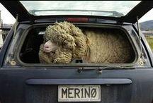 Fiber love <3 / All about sheep, angora, alpaca and other fiber stuff...