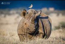 World Rhino Day - September 22 / With no natural predators, poaching is the biggest threat to rhinos. There are only five species left - three of which are endangered.