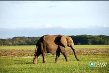 World Elephant Day / An elephant is killed for its ivory by a poacher every fifteen minutes.