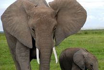 Only Elephants Need Ivory / by The International Fund for Animal Welfare - IFAW