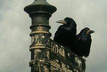 my darling crows