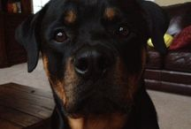 I love my Rottweiler / by Linda Griffin