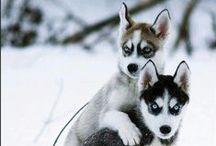 dogs / german shepherds, huskies, other puppies
