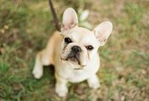 Frenchies / Who would not love French Bulldogs?