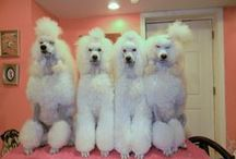 POODLES - I LOVE POODLES ALL COLORS, KINDS / Pictures of cute Poodles - if I could I would have a dozen..but I only have one Shes Black, Sweet ,Loving named SASHA, shes 8 years old.  I had two Poodles before Sasha ,Madam Precious Princess Peaches, was apricot in color & Petit Angelic Debelle AKA:Angie was white.  I had them for 15 years, the are in Rainbow Bridge Land Now, And I still miss them.
