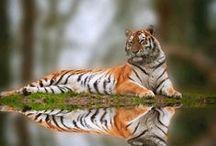 Tiger Love / by Katherine Swathwood