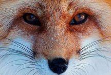 Vos, fox