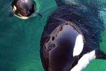 Cetaceans  / by Kelsey Prosser Tieszen