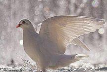 White dove peace ...