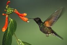 Hummingbirds / Hummingbirds, plants they like, recipe for Hummingbird nectar , How to make a Hummingbird feeder. Thanks for stopping by.