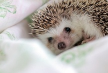 Hedgehogs. I love them.