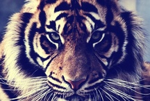 Animal Love / It will be about Animals in general but Tiger's are my favorite <3 / by Priscilla <3