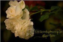 """Un kookaburra in giardino"" / Il mio blog"