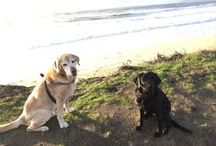 """Lisa's Dogs! / Sanchez, 12year old Yellow Labrador Retriever. His tag line... """"What's in it for me?"""" Gina, 6 year old Black Labrador Retriever, is the happiest dog on the planet!  Both are """"Career Change"""" dogs from Guide Dogs for the Blind."""