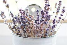 - lavender -