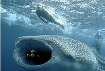 ocean: sharks & rays / Aumakua