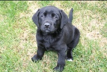 Scout / Our new Lab puppy.