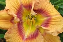 daylilies in my garden / by Ann Brauer