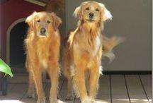 I Love My Goldens / Golden Retrievers, Wally and LuLu