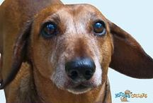 Dachshunds / Check Here for Everything Dachshund! / by Hot Dog Collars