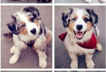 Australian Shepherd / Australian Shepherd Dogs, Puppies, & More! / by Hot Dog Collars