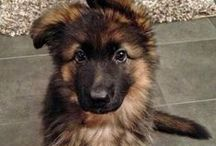German Shepherds / German Shepherd Dogs are AWESOME! Truly a One of a Kind Dog Breed. / by Hot Dog Collars