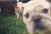 Bulldogs / Cute Bulldogs & Everything You Need to Know About the Bulldog Dog Breed! Bulldogs Are Beautiful!