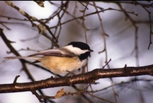 Bird Watching / Backyard birding, bird watching, bird photography & journal.