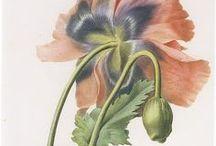 Anatomy & Botanical