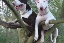 Bull terriers / Oh my god I love these dogs to bits!