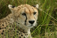 Top Wildlife Pics Shot by ADS Guests / by Africa Dream Safaris