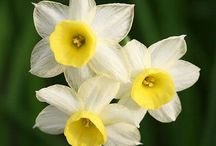 Daffodils / Spring bulbs I'd like to have someday.   Descriptions should include specific ideas for use at Havenwood.