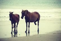 Corolla Wild Horses / The wild Mustangs of the Currituck Outer Banks are a main attraction! If you're lucky you may get to see some of these beautiful, majestic animals playing in the surf. / by Currituck OBX