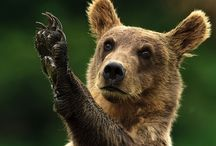 Bears / les ours