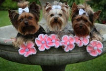 It's All About The Yorkies / by Dana DeAngelo-Mallalieu