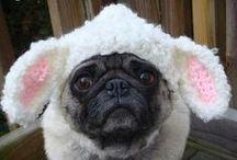 Pugs love ;) / Pugs, pugs, pugs!