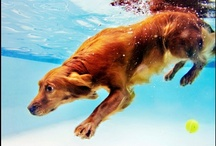 Diving Doggies by Brooke Mayo Photographers / www.underwaterdogs.com  By Brooke Mayo for Brooke Mayo Photographers, www.brookemayo.com.  underwater dogs, dogs underwater, underwater dogs book, underwater photography