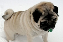 Pugs. Rocco. Dante. and other cute pugs.  / I have two pugs and I love them.  Its a great breed.  You should try them out if you are looking for a fun house pet.  They are local and keep your lap warm. www.roccoedante.com