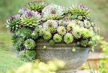 Succulents / by Pandora Miller