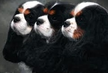 I heart Cavalier's / Nothing sweeter than a warm Cavalier snuggled up against you!  / by Gay Curtiss