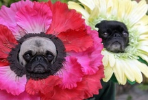 Love my Pugs / by Denise Tarrence